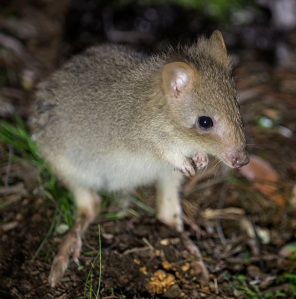 The Eastern Bettong has been successfully reintroduced the sanctuary thanks to the ANU and the ACT Government (read more at bettongs.org )