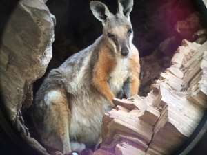 rockwallaby