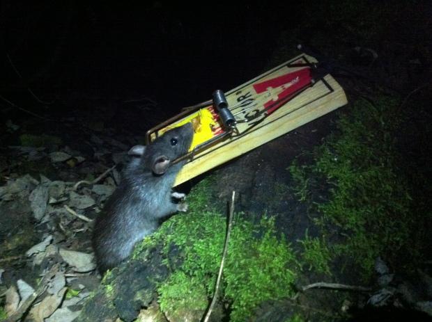 IMG_4609 Rat trap Victor (2)