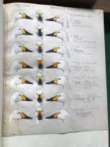 Sir Peter Scott first recognised that each Bewick's Swan could be identified by their facial markings