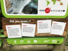 Red foxes are the only wild canine...